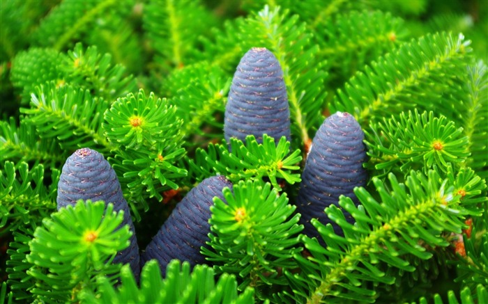 cones-Plant Photography widescreen wallpaper Views:4385