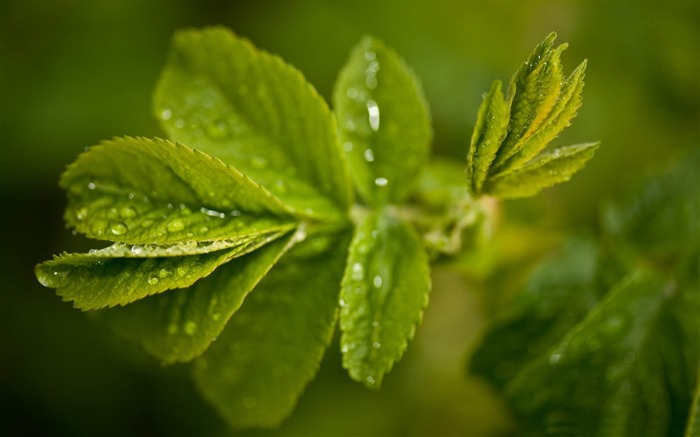 fresh green leaves-Plant Photography widescreen wallpaper Views:4051