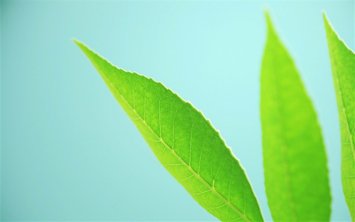 fresh green leaves-Plant Photography widescreen wallpapers Views:3471