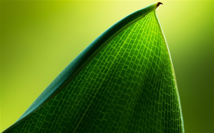 green leaf macro-Plant Photography widescreen wallpapers Views:4098