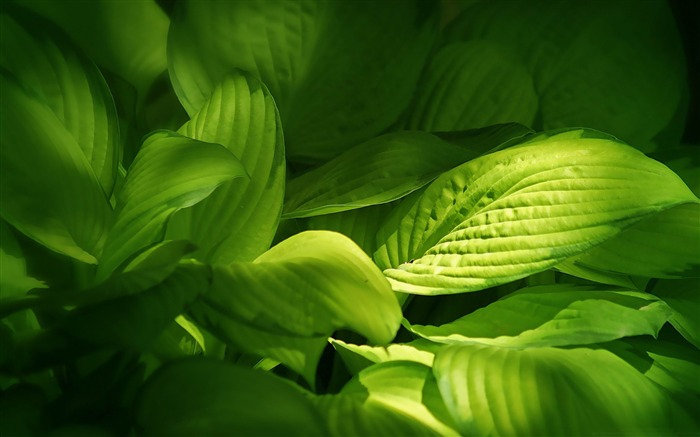 green plant leaves-Plant Photography widescreen wallpapers Views:3951