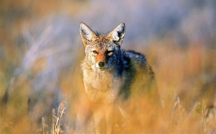 jackal hunting steppe-wild animals widescreen wallpaper Views:7161 Date:4/21/2013 11:32:20 PM
