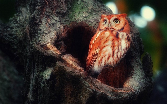 owl red sight surprise tree hollow birds-wild animals widescreen wallpaper Views:6721 Date:4/21/2013 11:36:32 PM