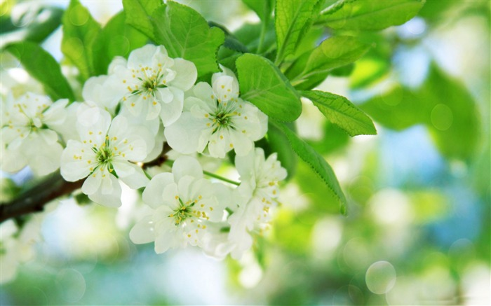 pear tree flowers-Nature Landscape wallpaper Views:5823 Date:4/21/2013 12:49:14 AM