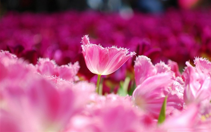 pink tulips-Nature Landscape wallpaper Views:9294 Date:4/21/2013 12:47:53 AM