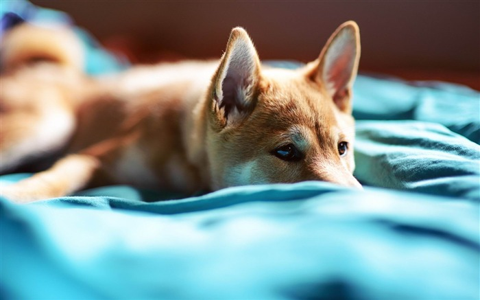 puppy snout eyes bed-wild animals widescreen wallpaper Views:2701