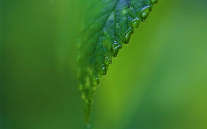 raindrops on a green leaf-Plant Photography widescreen wallpapers Views:3550 Date:4/5/2013 12:05:37 PM