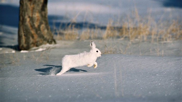 snow trees rodent fur coat rabbit-wild animals widescreen wallpaper Views:3279 Date:4/21/2013 11:41:52 PM