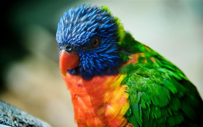 Colorful parrot-Animal World Photography Wallpaper Views:4862 Date:5/1/2013 11:56:46 PM