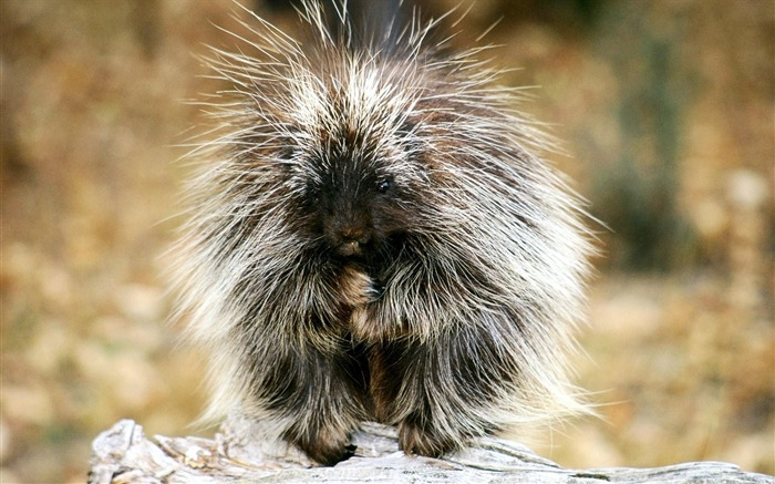 Hairy hedgehog-Animal World Photography Wallpaper Views:5212 Date:5/2/2013 12:02:00 AM