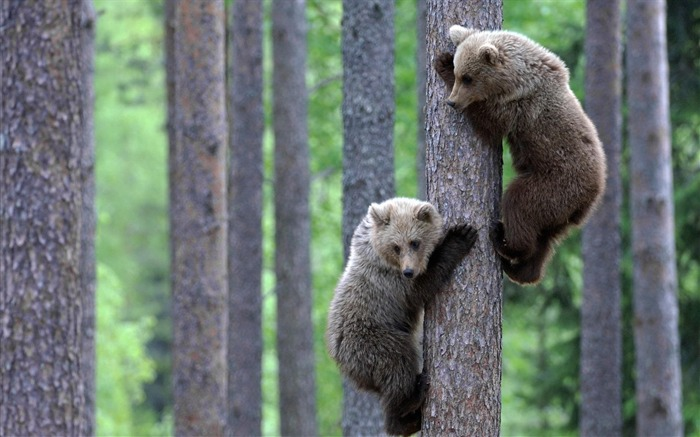 Master bear climbing a tree-Animal World Photography Wallpaper Views:5477 Date:5/1/2013 11:54:38 PM