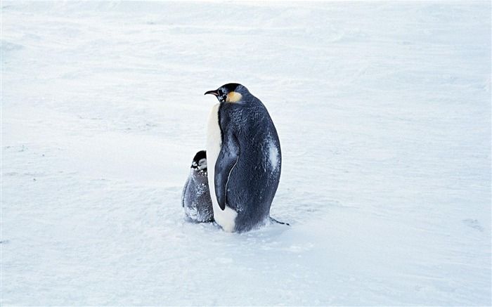 Penguin in the snow-Animal World Photography Wallpaper Views:4204 Date:5/1/2013 11:47:24 PM