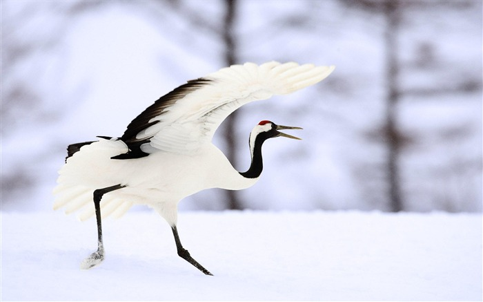 Red-crowned crane in the snow-Animal World Photography Wallpaper Views:6408 Date:5/2/2013 12:00:38 AM