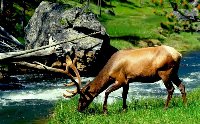 Stream reindeer-Animal World Photography Wallpaper Views:4463 Date:5/1/2013 11:52:10 PM