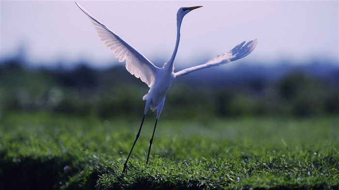 egret-Animal World Photography wallpaper Views:3365