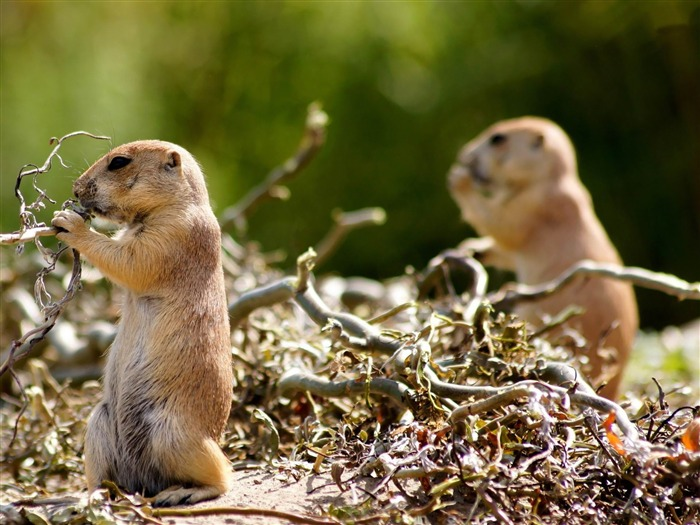 gophers-Animal World Photography wallpaper Views:3828