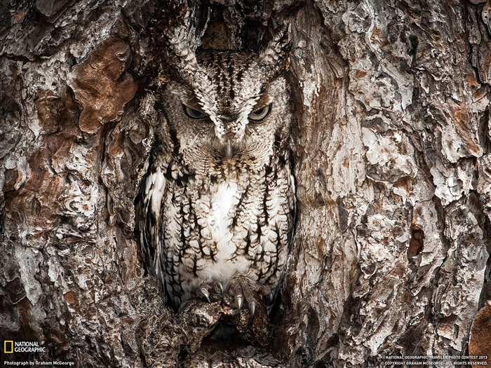 Eastern Screech Owl Georgia-National Geographic wallpaper Views:4692