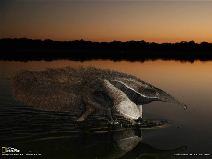 Giant Anteater Brazil-National Geographic wallpaper Views:4373