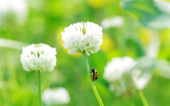 ladybug on clover flower-Macro photography wallpaper Views:5120