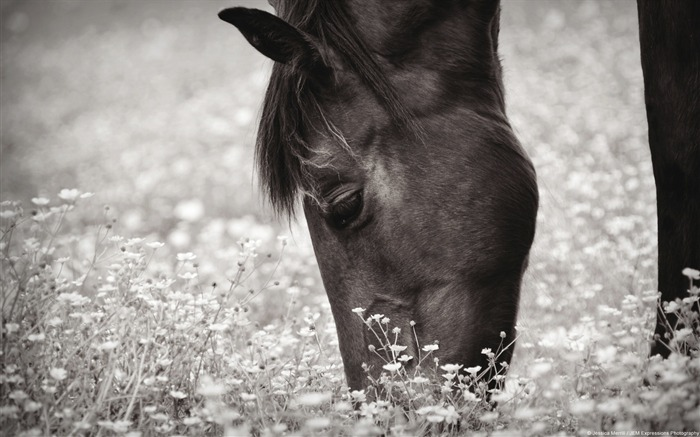 Grazing horses-Windows themes wallpaper Views:4531