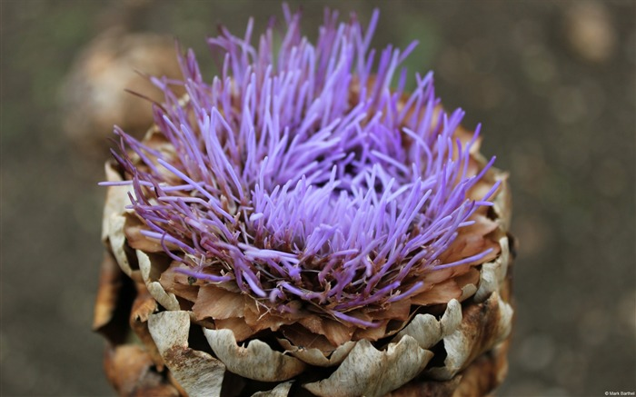 Korea Thistle-Windows themes wallpaper Views:5774 Date:7/6/2013 5:45:06 PM