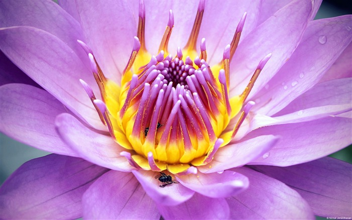 Purple Lotus-Windows themes wallpaper Views:8193 Date:7/6/2013 5:40:50 PM