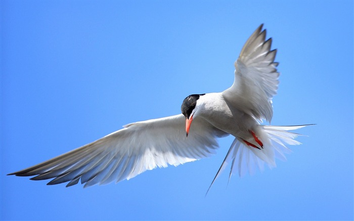 Terns Animal photography HD wallpaper Views:9946
