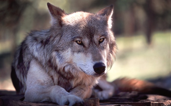 The rest of the wolf-Windows themes wallpaper Views:7428 Date:7/6/2013 5:52:29 PM