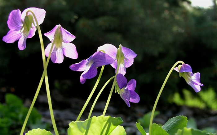 Violet-Windows themes wallpaper Views:3950 Date:7/6/2013 5:53:10 PM