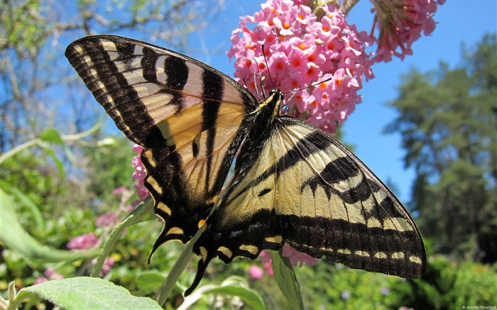 Western Tiger Swallowtail-Windows themes wallpaper Views:2595