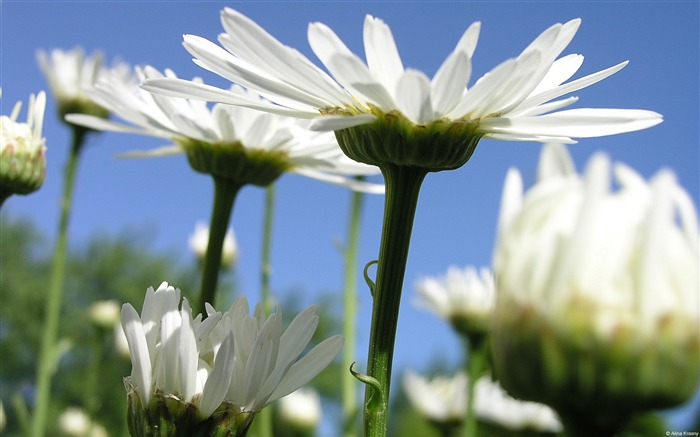 White daisies-Windows themes wallpaper Views:5876 Date:7/6/2013 5:42:54 PM