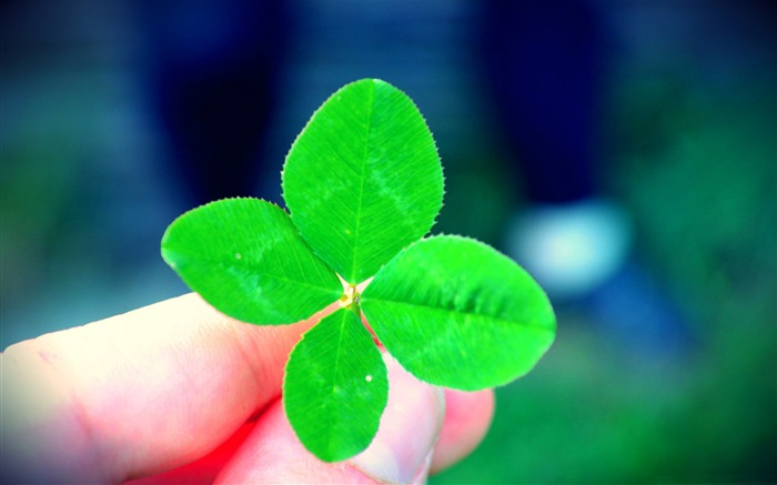 a four leaf clover-Macro photography HD Wallpaper Views:7831