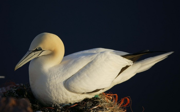 bird nest sea gull-Animal HD photo wallpaper Views:4226