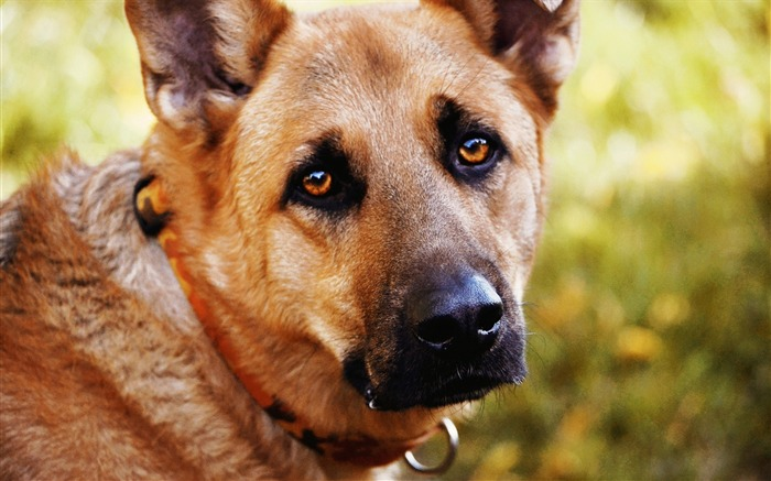 dog eyes sadness-Animal HD photo wallpaper Views:6771