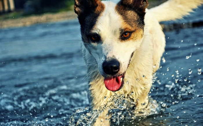 dog tongue water drops splashes-Animal HD photo wallpaper Views:3412