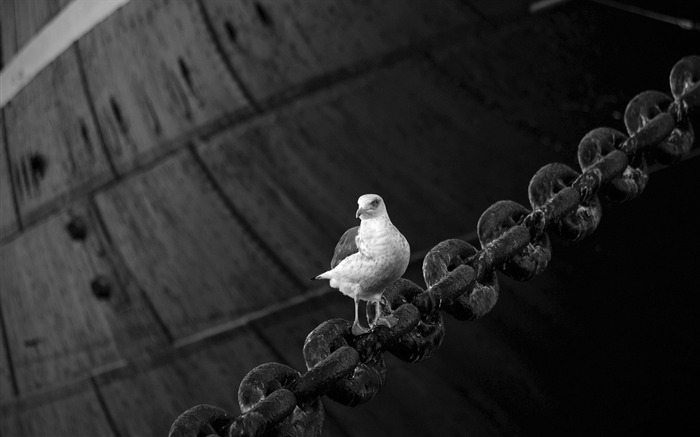 dove bird sitting chain-Animal HD photo wallpaper Views:3629