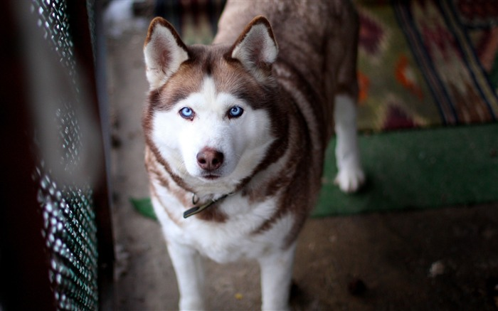 face husky dog-Animal HD photo wallpaper Views:4974