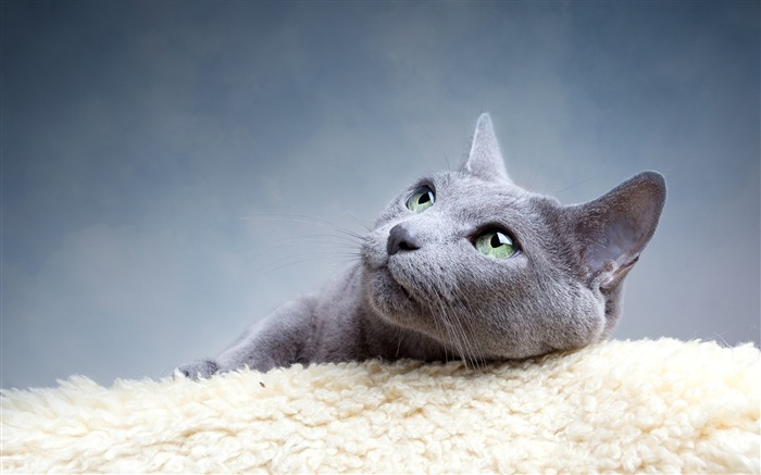 gray cat-Animal HD photo wallpaper Views:2813