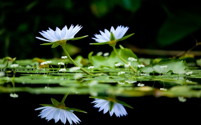 herbs water surface reflection-Flower Photos Wallpaper Views:3207