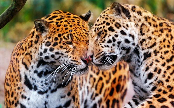 jaguars couple wildcat-Animal HD photo wallpaper Views:8506