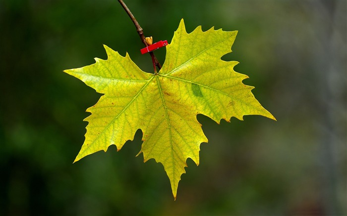 maple leaf fall-Macro photography HD Wallpaper Views:4346