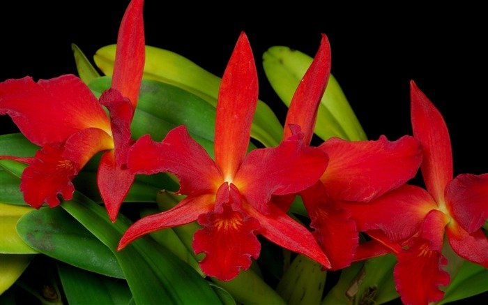 orchids red-Flower Photos Wallpaper Views:3638