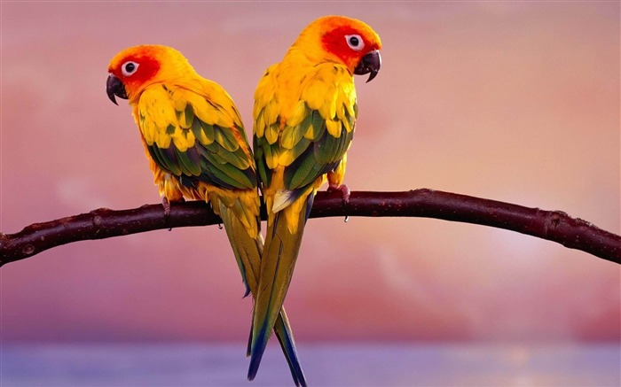 parrots pair-Animal HD photo wallpaper Views:19585