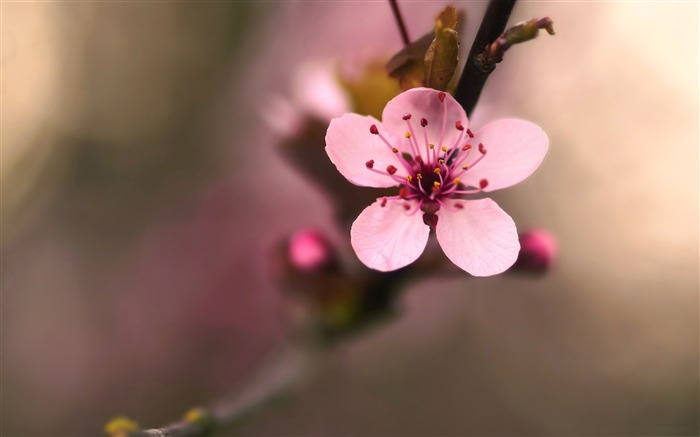 pink cherry flower-Macro photography HD Wallpaper Views:5295