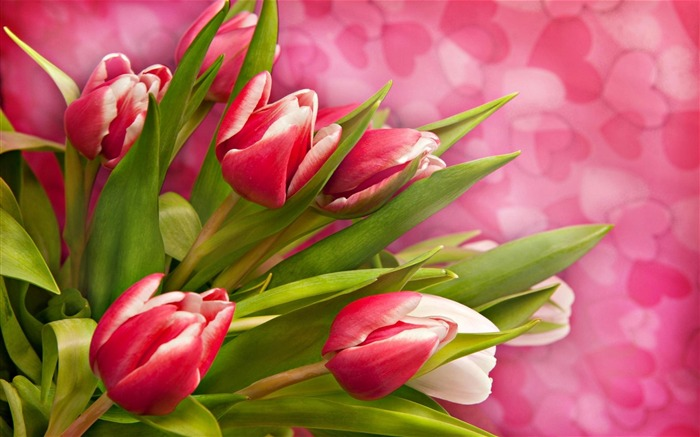 pink tulips-Flower Photos Wallpaper Views:3597