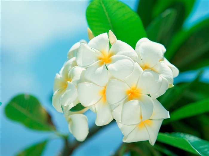 plumeria-Flower Photos Wallpaper Views:3650