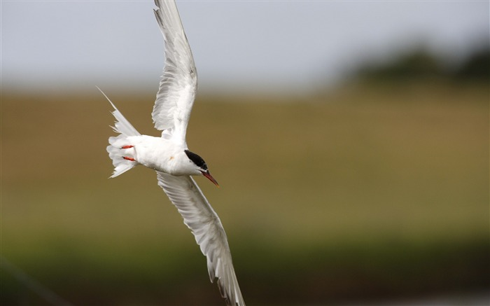 seagull flying-Animal HD photo wallpaper Views:2600