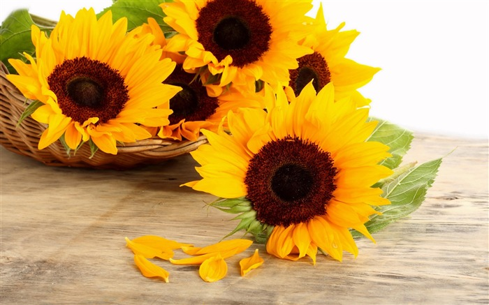 sunflower petals-Flower Photos Wallpaper Views:2282