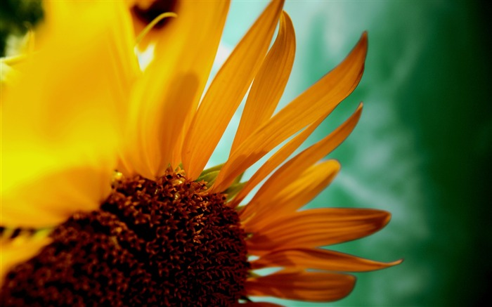 sunflower petals-Flowers Photos Wallpaper Views:3983