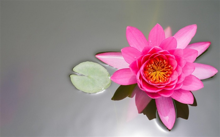 water lily pink-Flower Photos Wallpaper Views:3106
